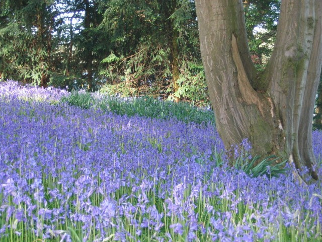 bluebells http://www.combermereabbey.co.uk/